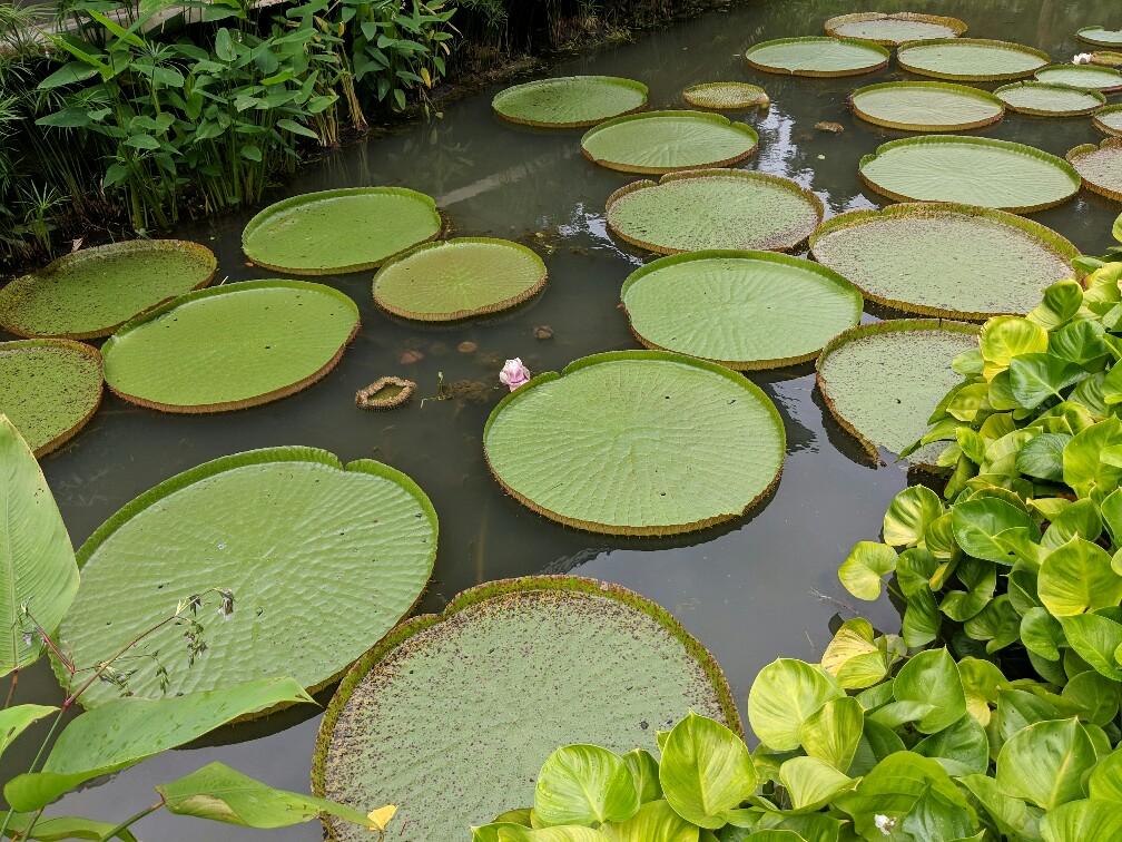 Nénuphars au jardin botanique de Singapour