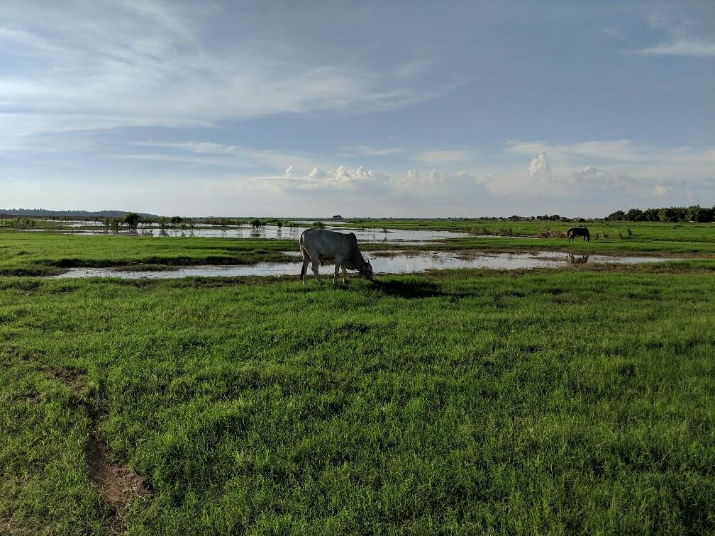 Vache broutant dans un pré à Koh Pen, Cambodge