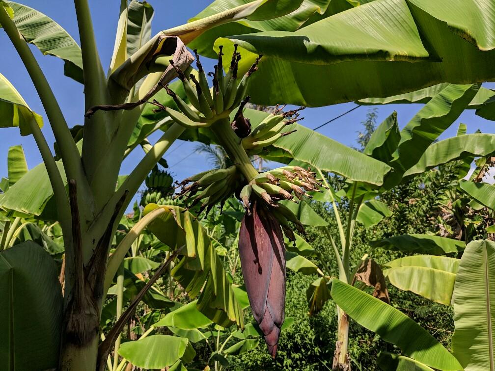 Jeunes bananes sur l'arbre à KohTrong, Cambodge