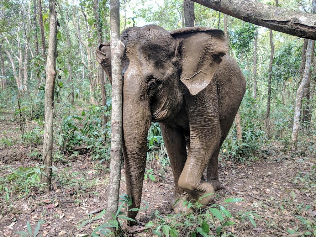 Éléphant frotte sa tête contre un arbre, Cambodge