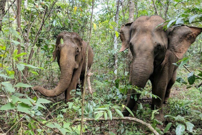 Photo frontale de deux éléphants mangeant près de Sen Monorom, Cambodge