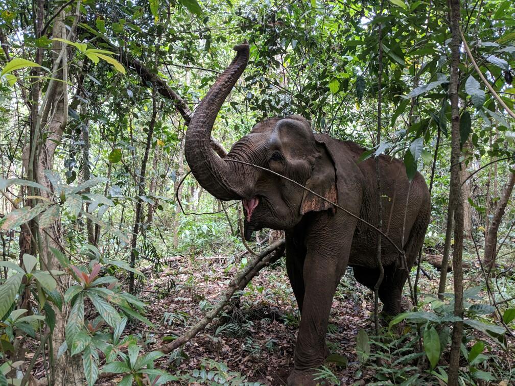 Éléphant avec la trompe en l'air, Cambodge