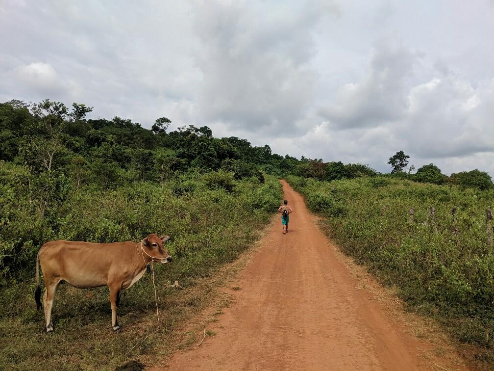 Vache au bord du chemin ocre pour aller au village Bunong, Cambodge