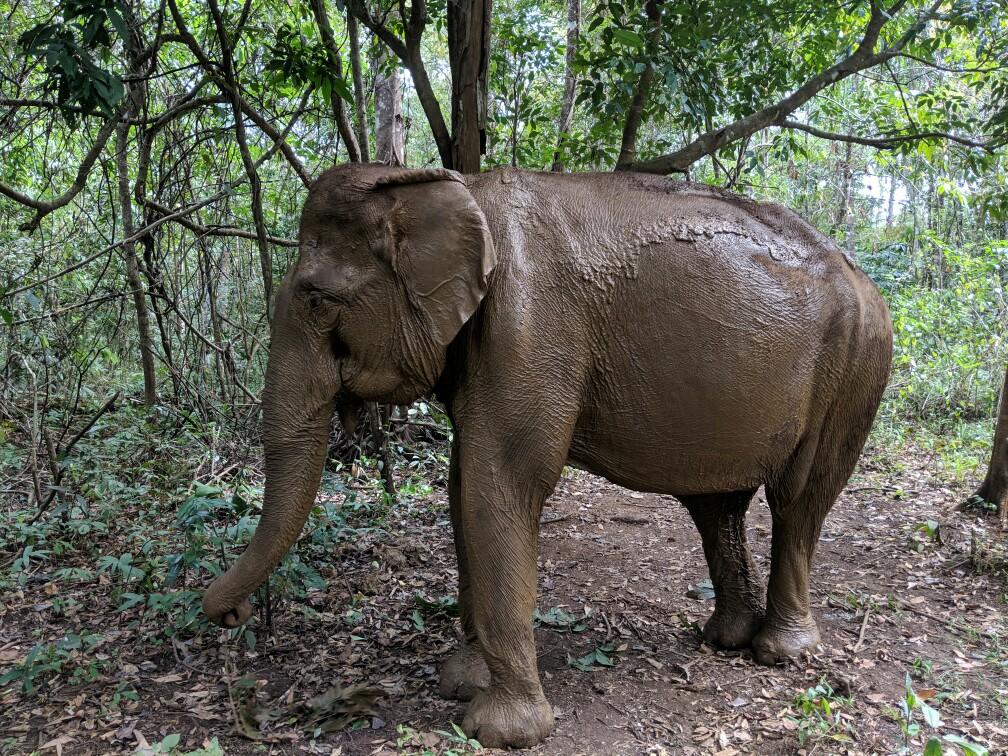 Elephant boueux, Sen Monorom, Cambodge