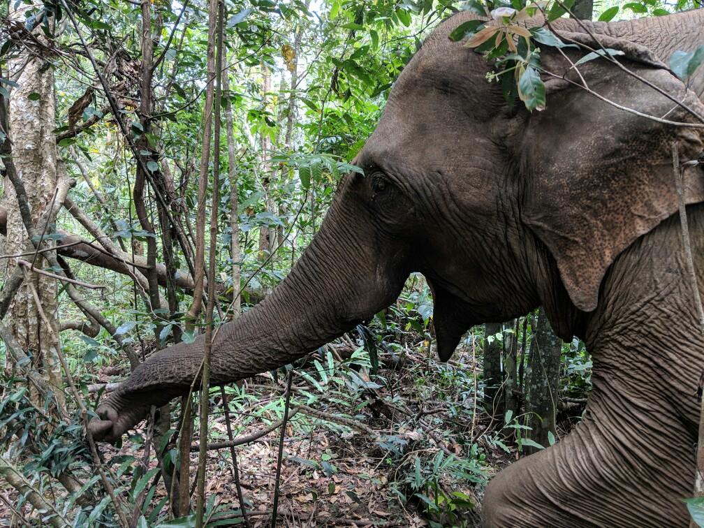 Éléphant attrapant une branche près de Sen Monorom, Cambodge