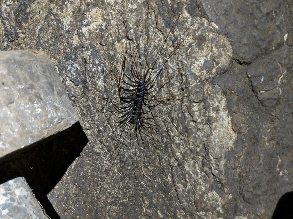 Insecte aux nombreuses pattes sur une paroi de Phanoi, Laos