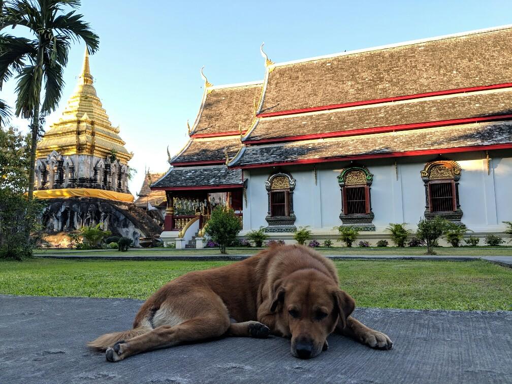 Labrador couleur crème couché devant un temple bouddhiste de Chiang Mai, Thaïlande
