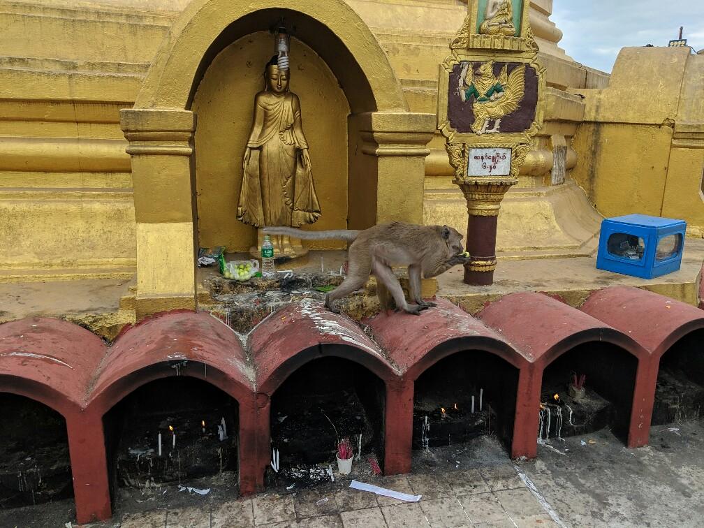 Un singe a pris de la nourriture sur un autel au Mont Zwegabin