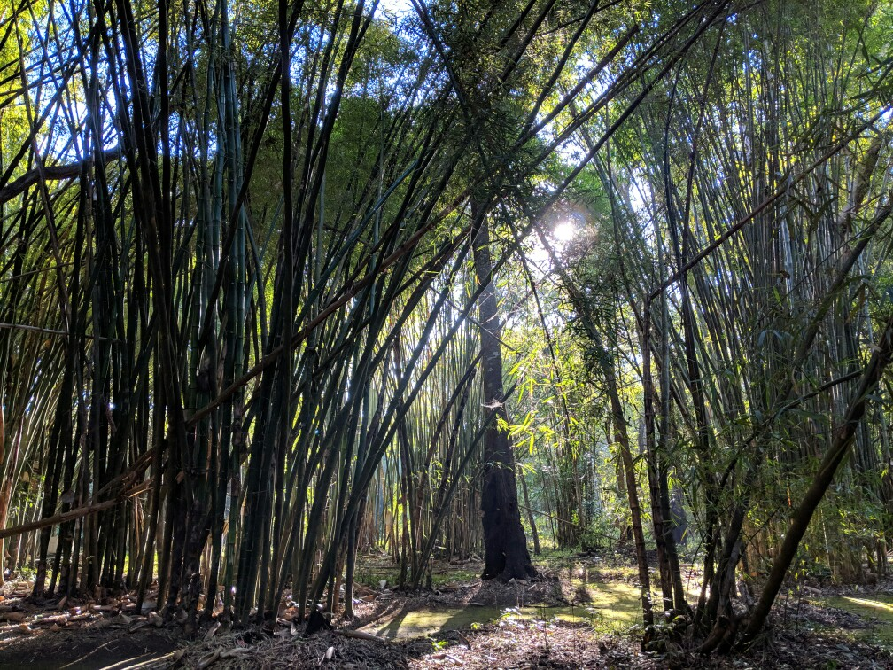 Forêt de bambous du jardin botanique de Pyin Oo Lwin en Birmanie