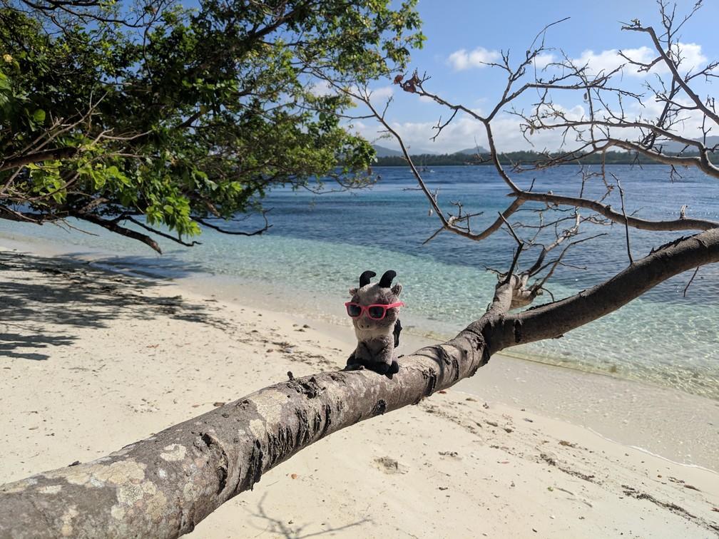 Biquette est juchée sur une branche au dessus de la plage de l'île de Caxisigan, la mer en arrière-plan