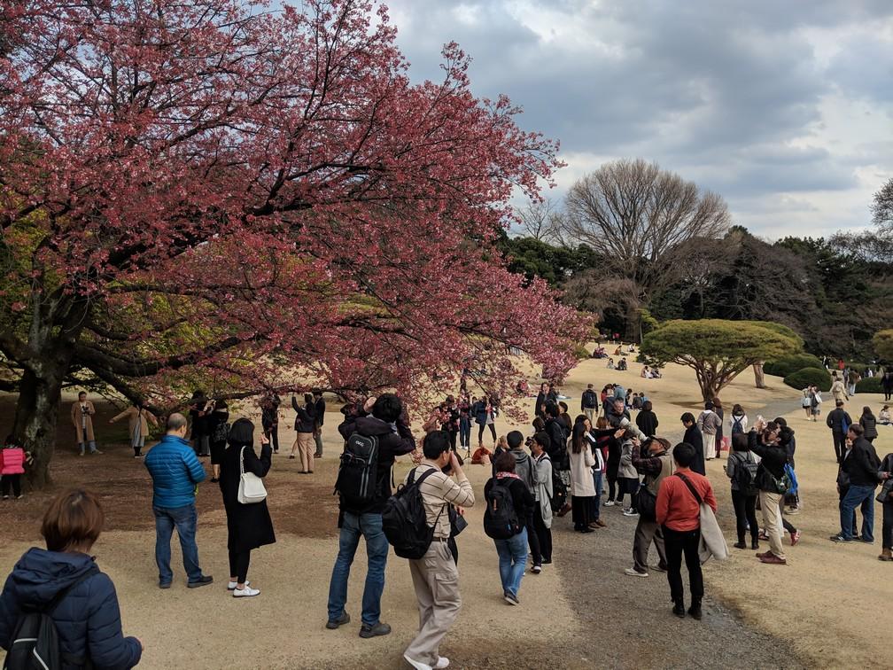 Une foule est amassée devant un cerisier en fleur au parc de Shinjuku-Gyoen