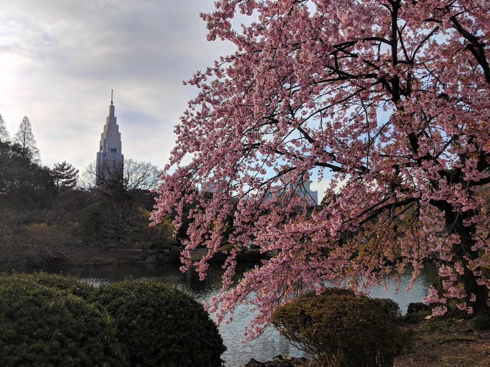 Cerisier en fleur dans le parc de Shinjuku-Gyoen, avec une tour en arrière-plan