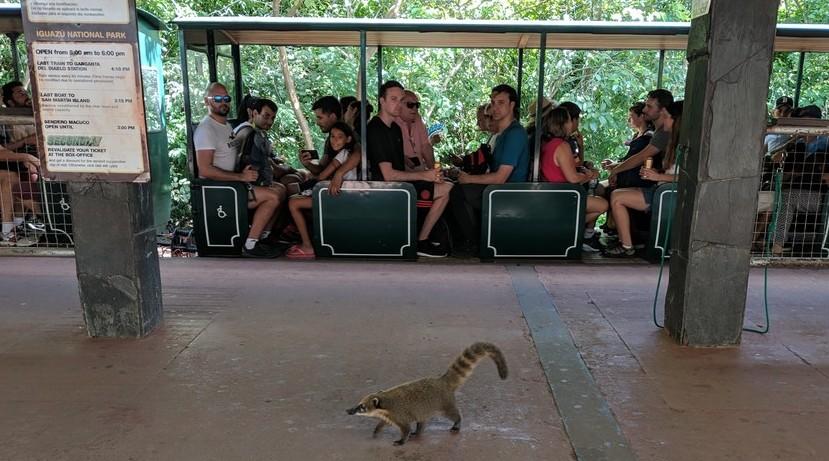 Un coati se balade sur le quai devant le petit train d'Iguazu