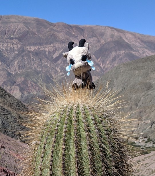 La Biquette est posée sur le haut d'un cactus à Purmamarca sur la boucle nord de Salta