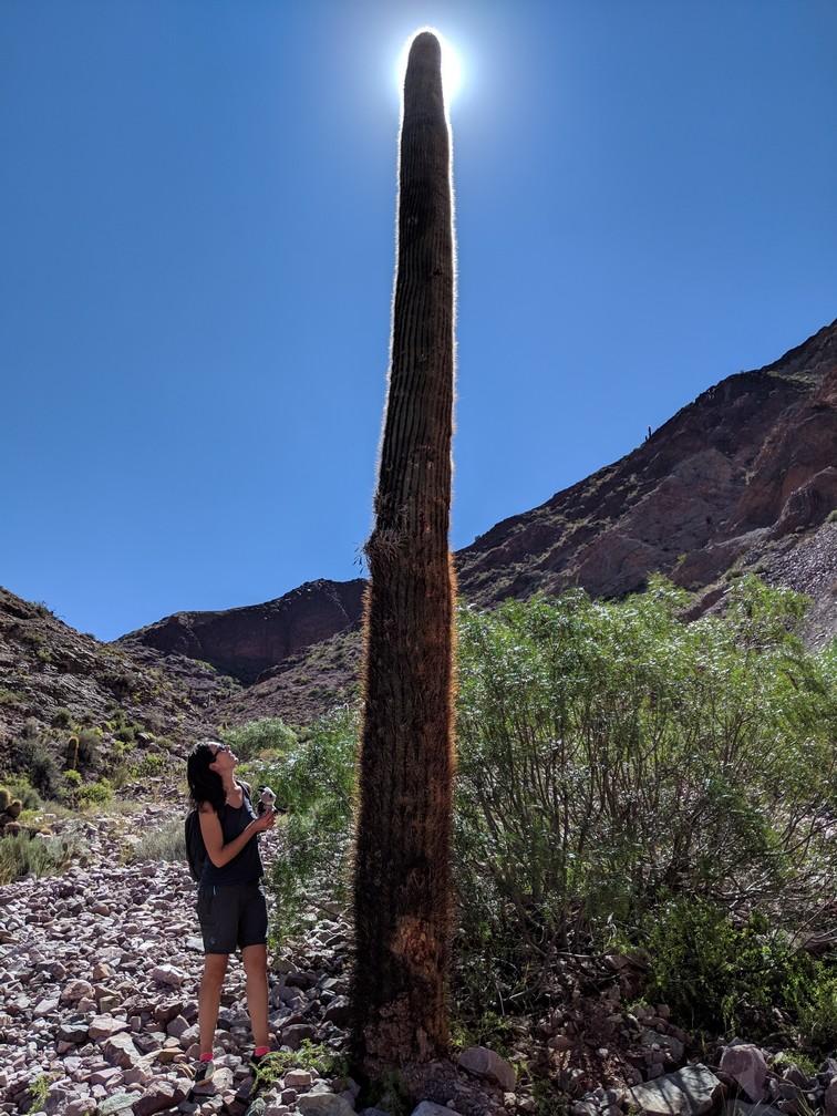 Cactus géant dans les environs sur la boucle nord de Salta en Argentine