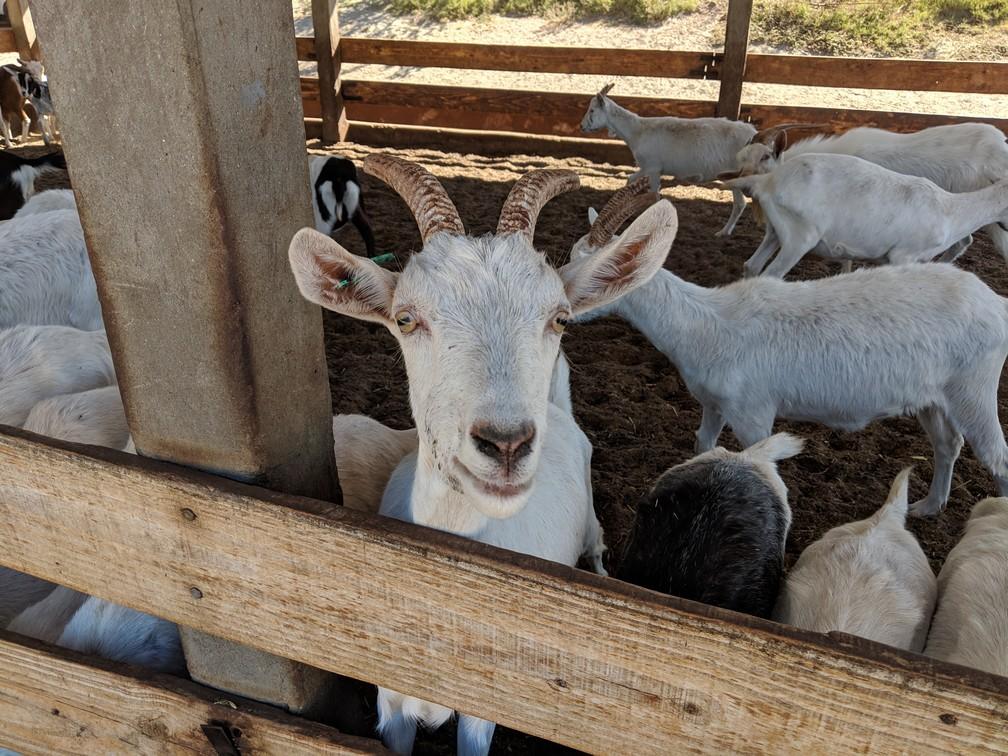 Une chèvre nous regarde depuis son enclos dans la ferme Cabras de Cafayate