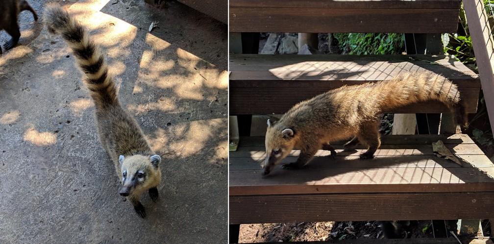 Deux photos de coatis à Iguazu