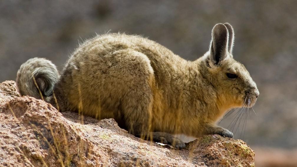 Photo de viscache en gros plan