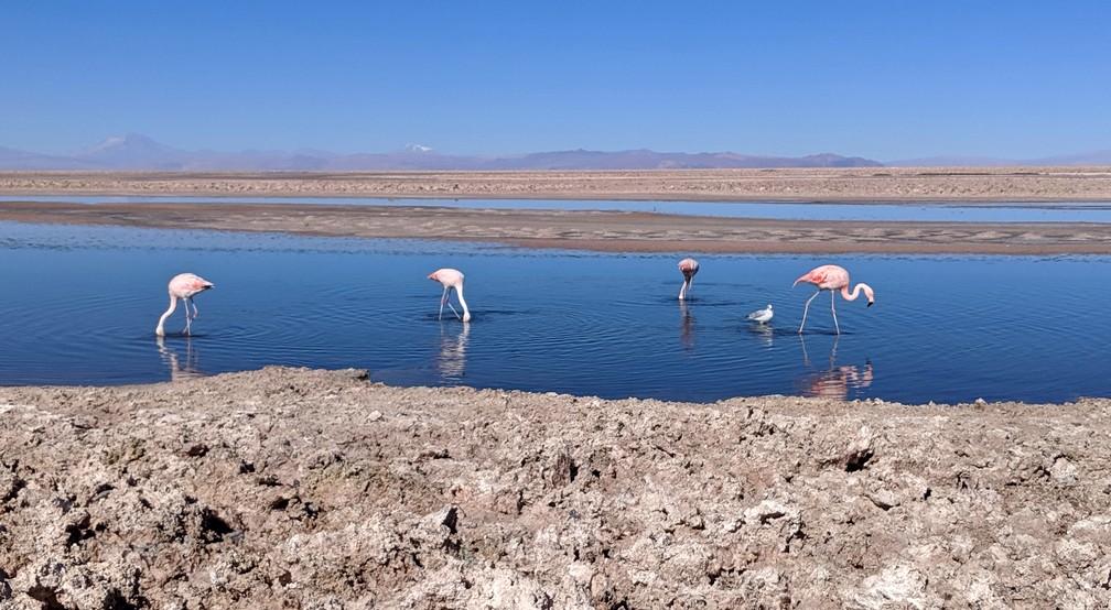Des flamants roses dans la lagune de Chaxa