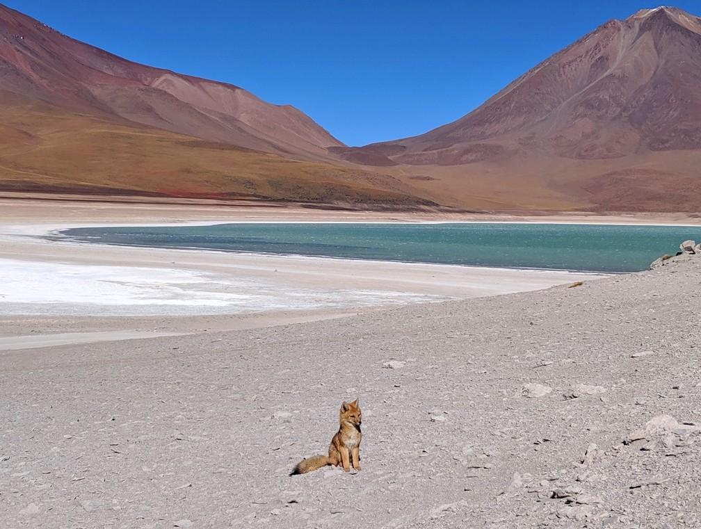 Un renard andin est assis devant la lagune verte en Bolivie