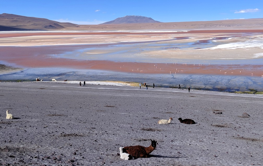 Lamas couchés devant la laguna colorada