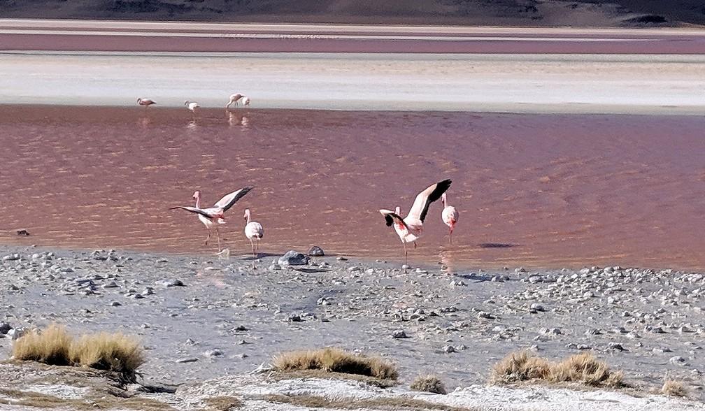 Des flamants roses s'envolent à la laguna colorada