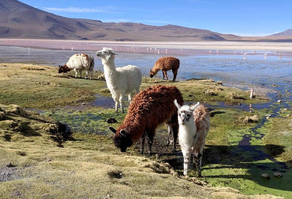 Lamas mangent au bord de la laguna colorada