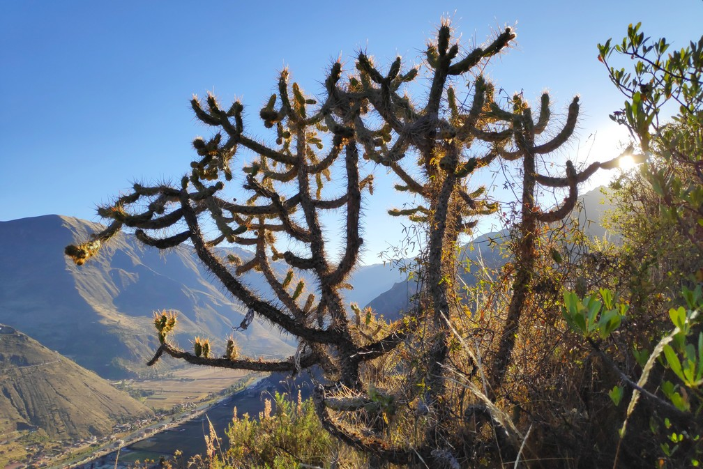 Plante piquante aux ruines de Pisac