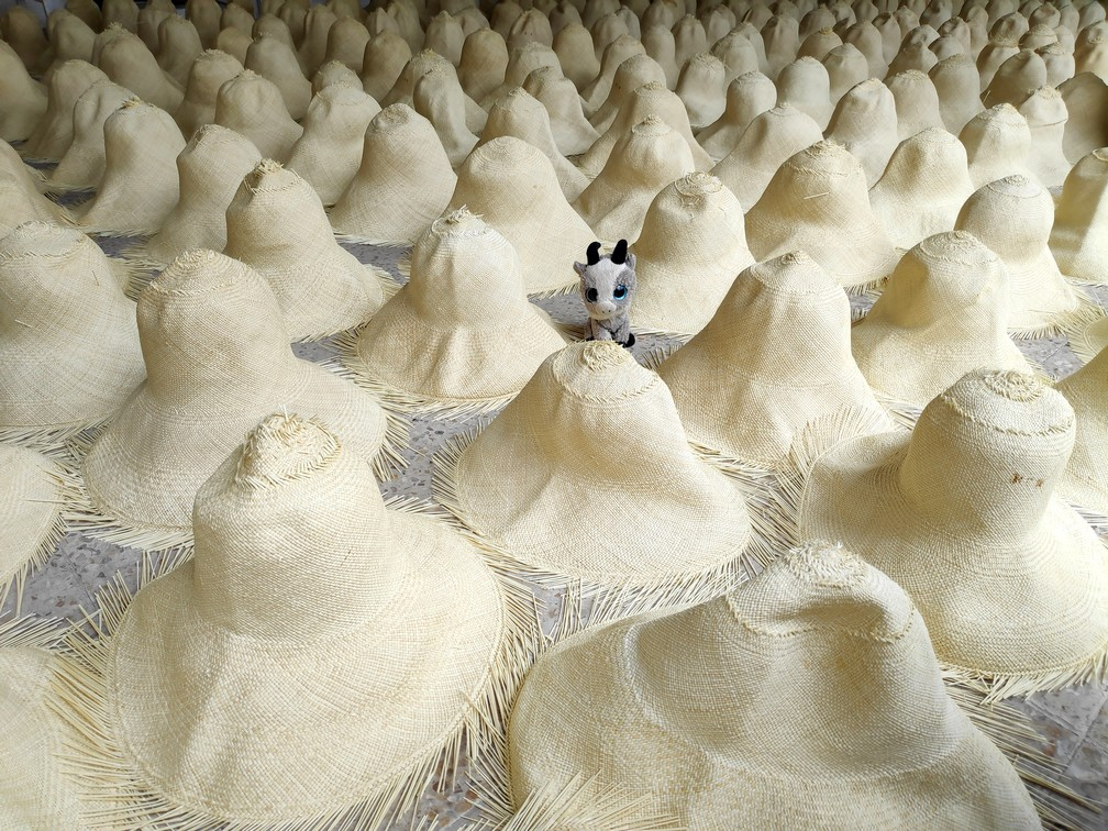 La petite Biquette au milieu de chapeaux de Panama en cours de fabrication au musée Ortega de Cuenca