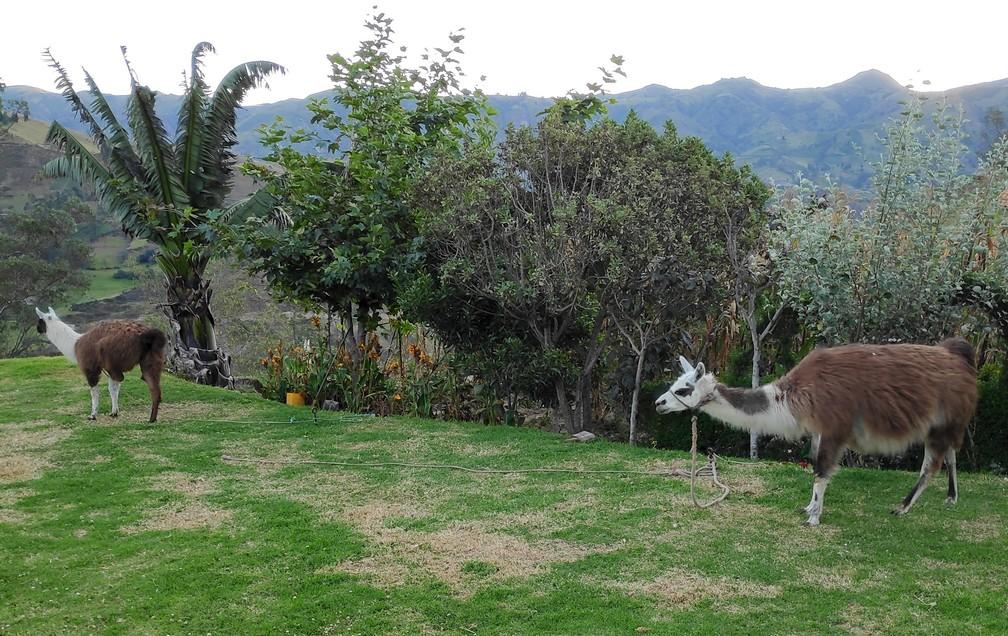 Lamas dans le jardin de l'hostel Taita Cristobal de Isinlivi