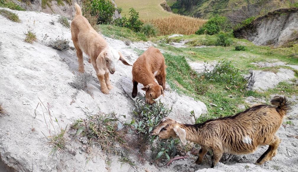 Petites chèvres sur le chemin vers Chugchilan