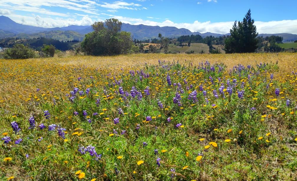 Champ de fleurs sauvages violettes et jaunes sur la boucle de Quilotoa