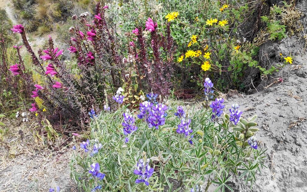 Fleurs sauvages violettes, jaunes et roses sur la boucle de Quilotoa