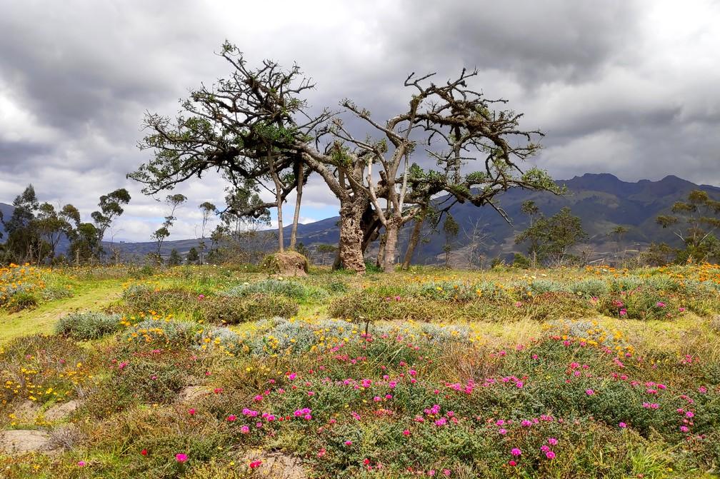Arbre centenaire EL Lechero sur les hauteurs d'Otavalo