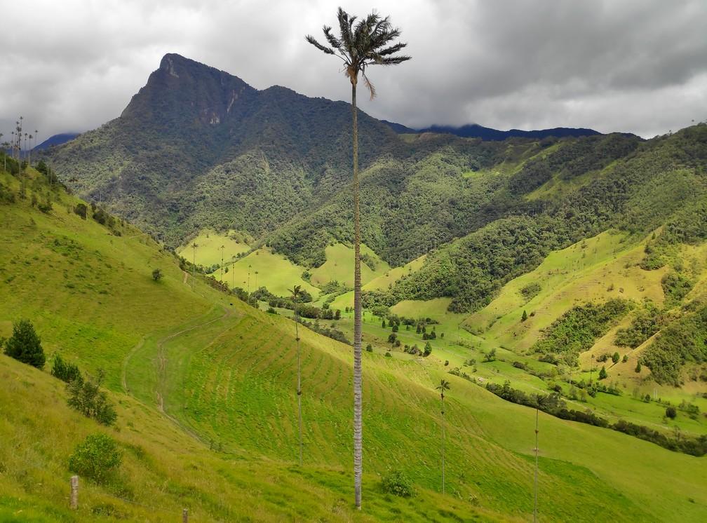 Palmier géant de la vallée de Cocora en Colombie