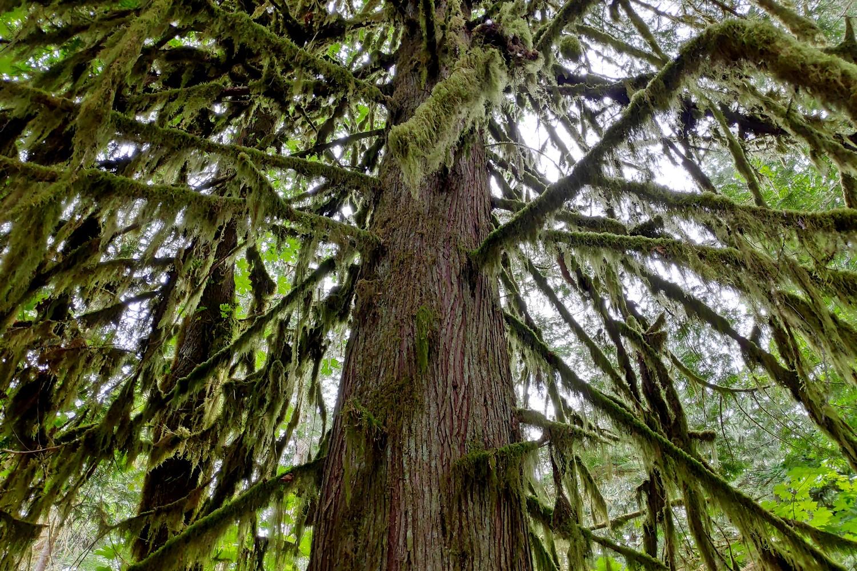 Mousse sur les branches d'un arbre à Cathedral Grove