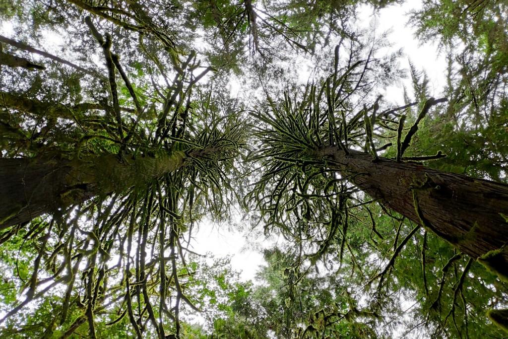 Cimes des arbres couverts de mousse près de Cat Lake
